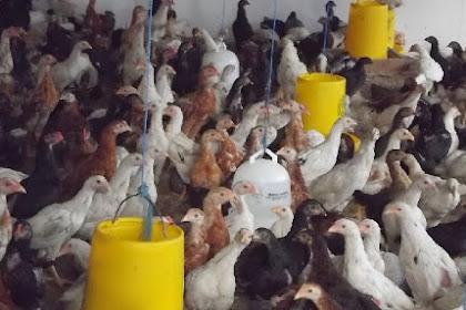 Panduan Lengkap Perjuangan Ternak Ayam Kampung Untuk Pemula
