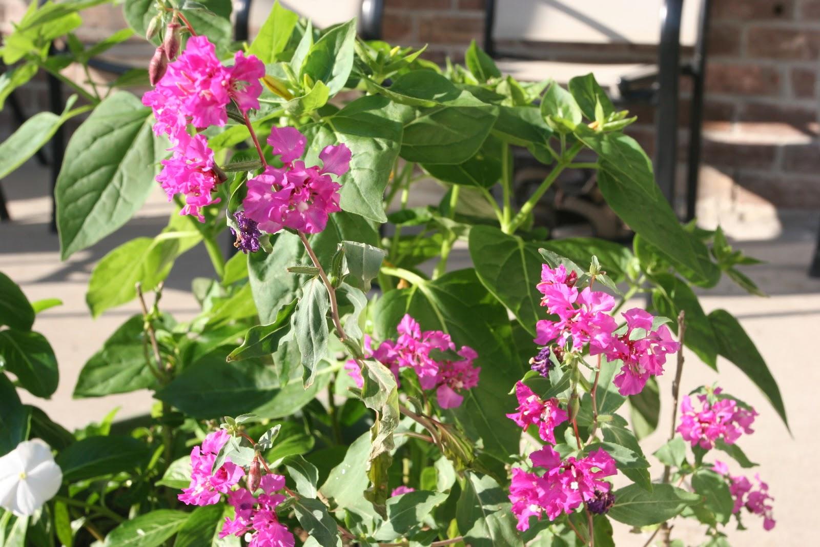 Gardening 2012 - IMG_3169.JPG