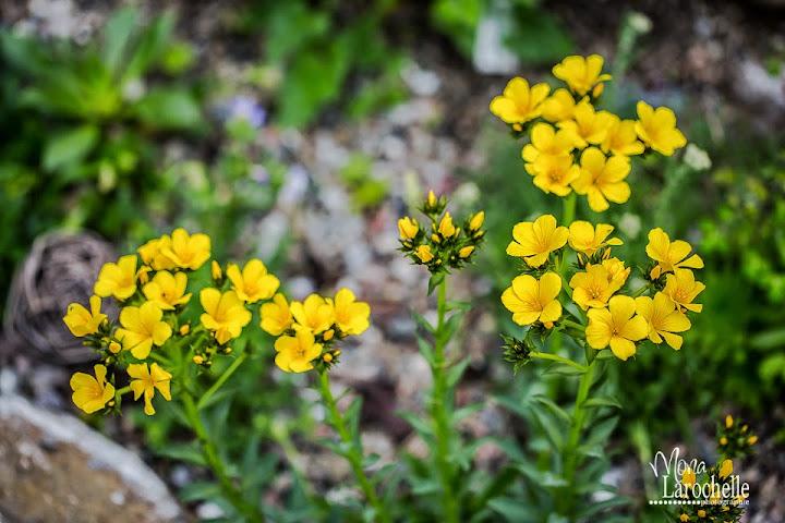 Une petite alpine à identifier: Résolu ---> Linum capitatum Linum-capitata-140605-46rm
