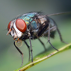 Langau Ijo by Just Arief - Animals Insects & Spiders ( fly, close up, natural )