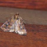Noctuidae : Condicinae : Condica mobilis (WALKER [1857]). Cabañas Rio Grande, Nangulvi, 1400 m, Intag, (Imbabura, Équateur), 17 novembre 2013. Photo : J.-M. Gayman