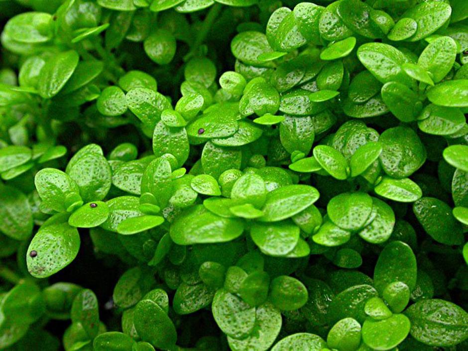 Хемиантус каллитрихоидес (Hemianthus callitrichoides)