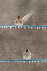 CE N'EST QU'UN AU-REVOIR ?Dès la fin de l'hiver, les sizerins remontent vers le Nord de l'Europe