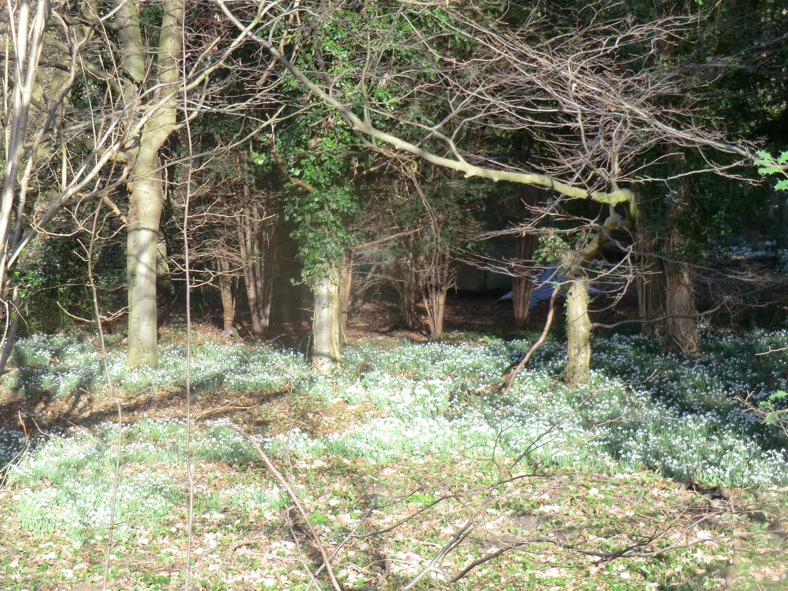 CIMG3674 Snowdrop wood off Chalk Lane