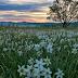 Долина нарцисів зацвіла пізніше ніж зазвичай (ФОТО)