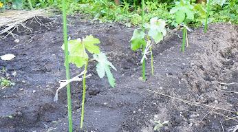 オクラ植え付け後
