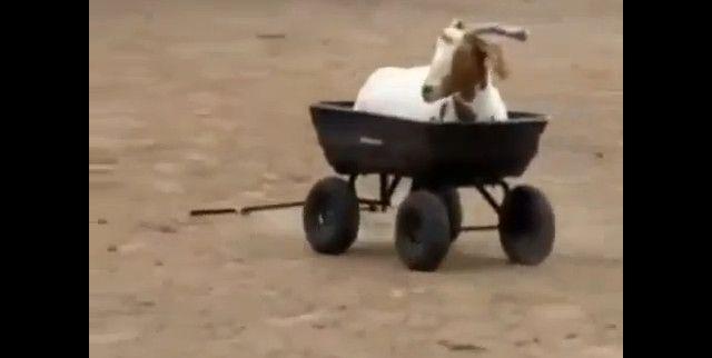Cabra dá um passeio de carrinho-de-mão