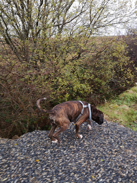 boxer dog walking along a hedge, blurred foreground