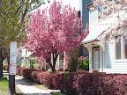 S. Fitzhugh flowering trees