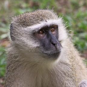 Vervet Monkey, Botswana