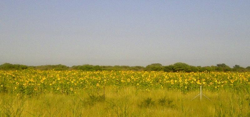 Sunflower Field seen on my bike ride
