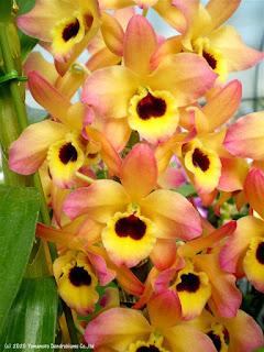 Den. Oriental Smile 'Butterfly' BM/JOGA