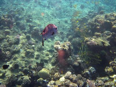 013 Doppelfleck- Schnapper (Lutjanus bohar) Gelbflossenbarbe (Mulloidichthys vanicolensis) Ägypten Dez 2014 - Marsa Alam - Coraya Bay IMG_0300