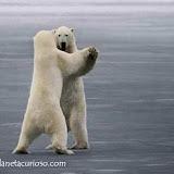 osos-bailando.jpg