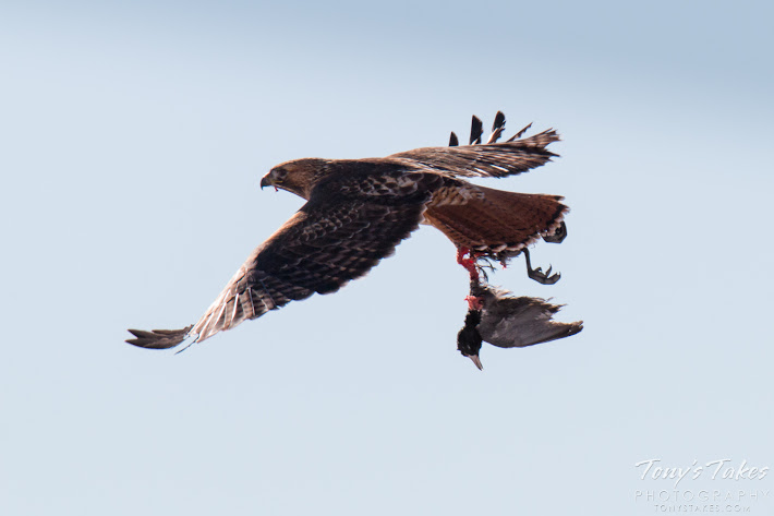A Red Tailed Hawk flies off with the rest of its meal, an American Coot.  (© Tony's Takes)