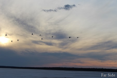 Swans over Shell lake