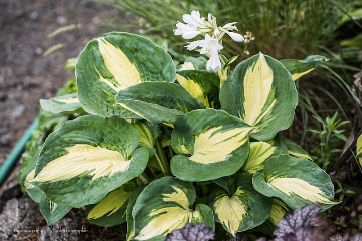 Hosta Dream Weaver Hosta-dream-weaver-130708-105rm