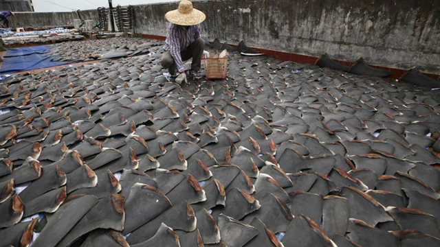 Fins illegally poached from endangered sharks are layed out to dry in Costa Rica. Photo: The Costra Rican Times