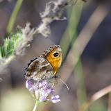 Pyronia cecilia (VALLANTIN, 1894), femelle. Aix-en-Provence (13, France), 31 juillet 2014. Photo : J.-M. Gayman