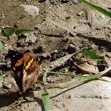 Doxocopa elis (C. & R. FELDER, 1861). Près de Coroico à 1000 m d'alt. (Yungas, Bolivie), 14 octobre 2012. Photo : C. Basset http://butterfliesofamerica.com/L/t/Doxocopa_elis_a.htm