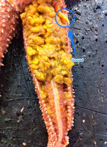 Kenzie S Biology 11 Blog Starfish Dissection Lab