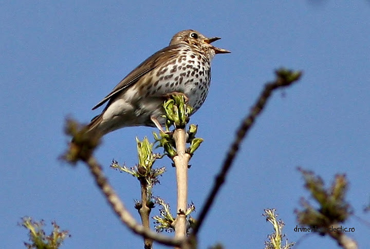 turdus philomelos song thrush music birds birdwatching pasari cantatoare