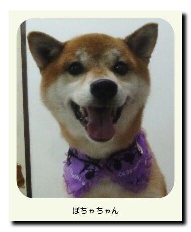 柴犬のぽちゃちゃん