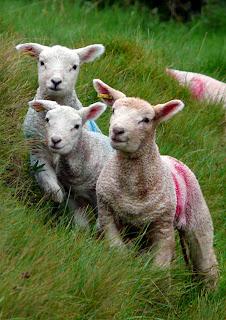 Lambs at Play,�Brendon Hills Somerset