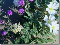 Verbena; brown eyed primrose ; dune primrose