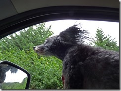 Skruffy enjoying the ride