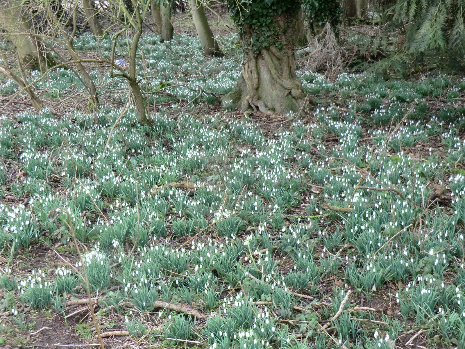 CIMG6693 Masses of snowdrops in the woods above Freefolk