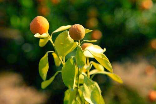 Theo những người trồng quất ở Tứ Liên, các cây chết thường có biểu hiện đầu tiên là vàng lá.