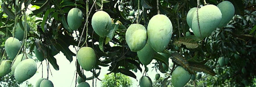 Decorative Plants,Indoor Plants,Outdoor Plants,Fruit Plants - Mango Plants