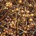 Matured Coriander Seeds on plant