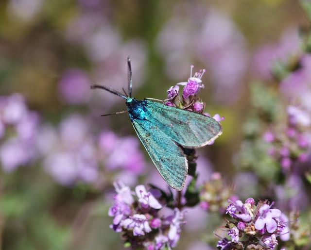 Procridinae : Adscita statices (L., 1758). Plateau de Coupon (511 m), Viens (Vaucluse), 14 mai 2014. Photo : J.-M. Gayman