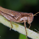 Star eyed grasshopper