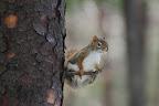 EQUILIBRISTE Cet écureuil s'apprête à grignoter un champignon cueilli dans une forêt incendiée