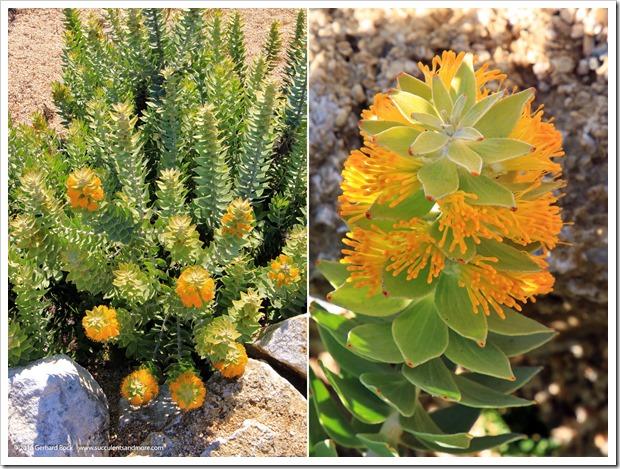 160813_UCSC_Arboretum_Mimetes-chrysanthus_010