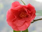 緋赤色 八重咲き 蓮華性 筒しべ 大輪