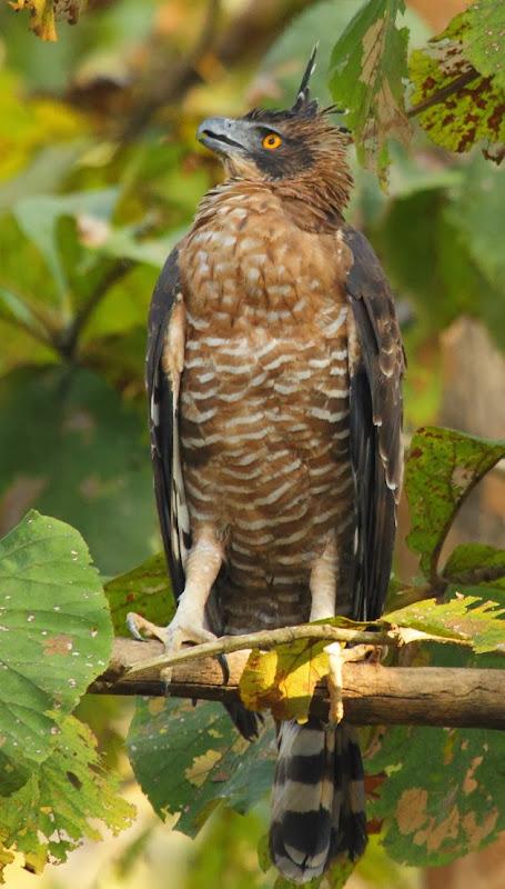 Changeable Hawk Eagle at Dandeli National Park, Dandeli