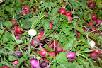 Brightside radishes October 15.