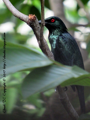 Asian Glossy Starlings On A Rambutan Tree Branch (click to enlarge)