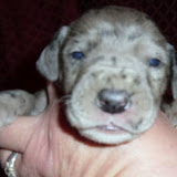 Dominic & Heidi's merle male @ 2 weeks