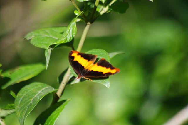 Catonephele nyctimus (WESTWOOD, 1850), mâle. Rio Chontal, 900 m. San Miguel de Chontal (Imbabura, Équateur), 11 décembre 2013. Photo : J.-M. Gayman