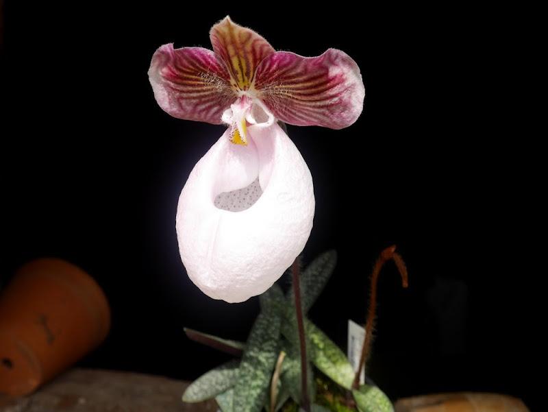 Paphiopedilum micranthum 'Alfa' P1080941