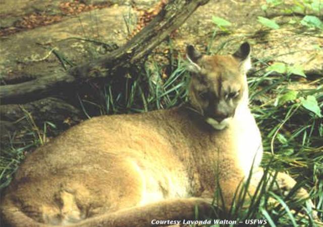 Eastern cougar (Puma concolor couguar), declared extinct on 22 January 2018. Photo: Lavonda Walton / USFWS