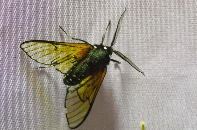 Homoeocera crassa Felder, 1869 (?). Mount Totumas, 1900 m (Chiriquí, Panamá), 22 octobre 2014. Photo : J.-M. Gayman