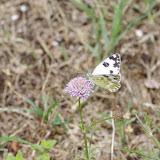 Pontia daplidice (Linnaeus, 1758), femelle. Les Hautes-Courennes, Saint-Martin-de-Castillon (Vaucluse), 16 juin 2015. Photo : J.-M. Gayman