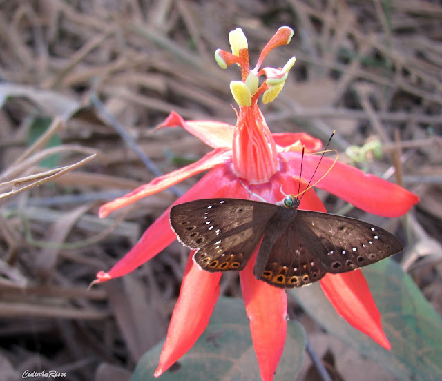 Eurybia halimede passercula STICHEL, 1915. Forêt au Nord de Colider (Mato Grosso, Brésil), août 2011. Photo : Cidinha Rissi