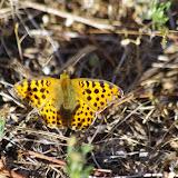 Issoria lathonia (L., 1758), femelle. Les Basses Courennes (Saint-Martin-de-Castillon, Vaucluse), 10 mai 2014. Photo : J.-M. Gayman
